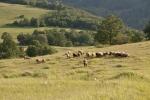 овчице мирно пасу...