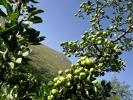 Јабуке се нуде