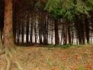 Црне шуме четинара су станиште деликатесних рујица - у право време