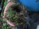 Бане је нашао гнездо