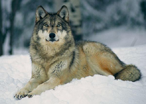 Wolf - Page 4 Vuk1