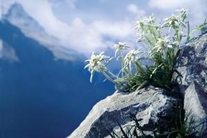 Pirin-edelweiss